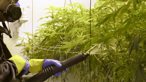 Marijuana Grower Sprays Organic Pesticides on Plants