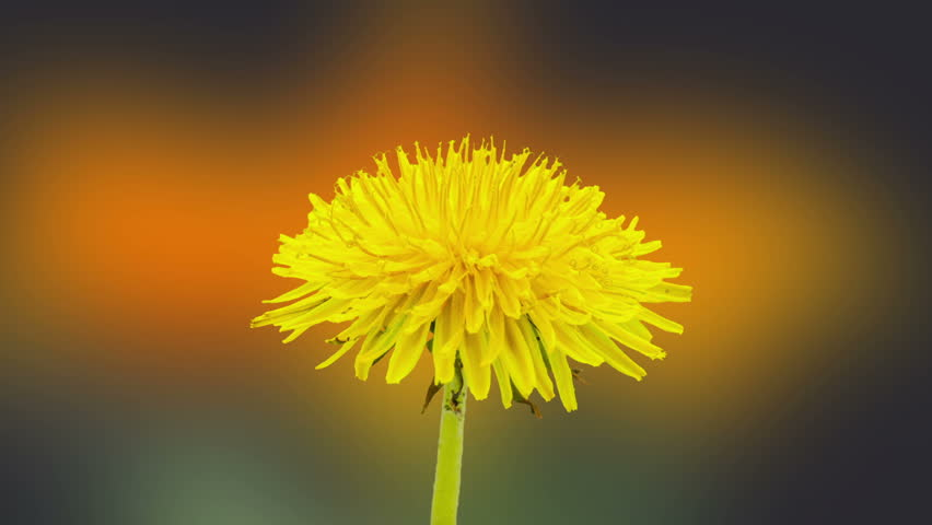 Dandelion flower blossoming composition/Timelapse video of a yellow dandelion flower blossoming with a gerbera flower blossoming int he background
