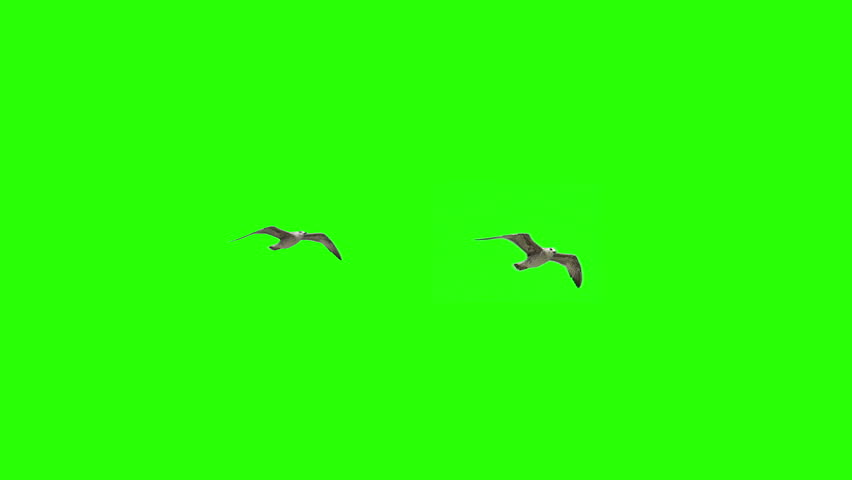 Flying Birds Seaguls on Chroma key #13767326