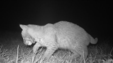 American Bobcat Kitten (Lynx rufus), this 8 week old kitten is learning hunt after mother brought her a mouse. January in Georgia. Very rare infrared night footage.
