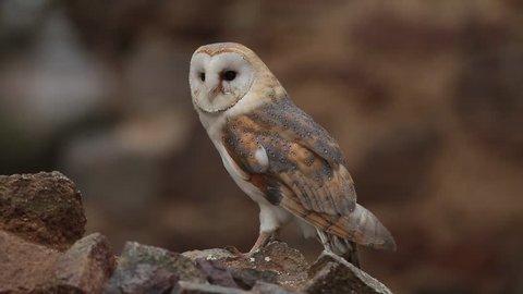 nice barn owl