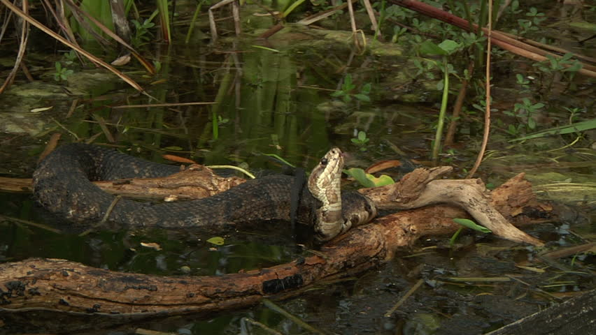 Cottonmouth in everglades