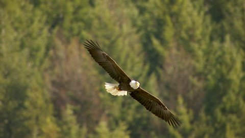 MS TS Shot of bald eagle flying over landscape / Nelson, British Columbia, Canada - Nelson, British Columbia, Canada, March, 2015