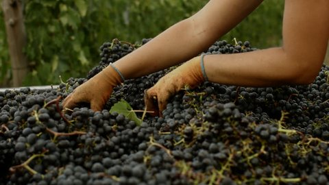 The hands of a girl rummage through a pile of grapes of Chianti red wine inside a vineyard during the harvesting process in Tuscany, Italy.
