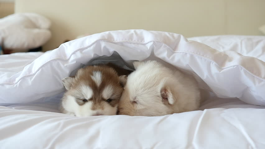 Two Siberian Husky Puppies Sleeping On White Bed Under ... Adorable Husky Puppy Sleeping