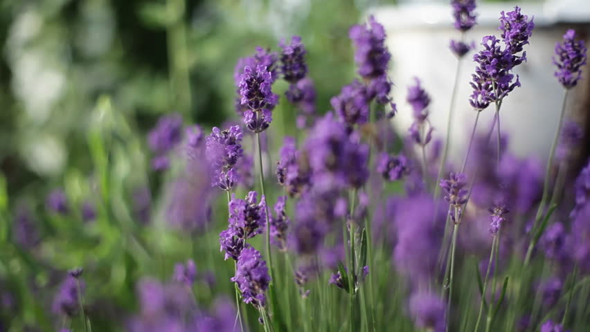 Honey bees pollinate purple lavender flowers, shallow DOF | Shutterstock HD Video #13912706