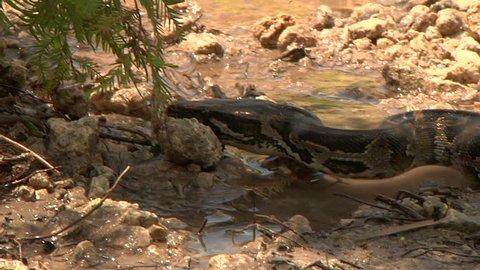 Python Eats Rat in Swamp