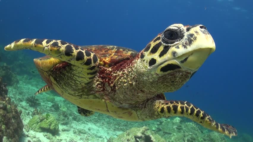 Hawksbill Sea Turtle is swimming and chases the camera probably seeing it's mirror image. #13945376