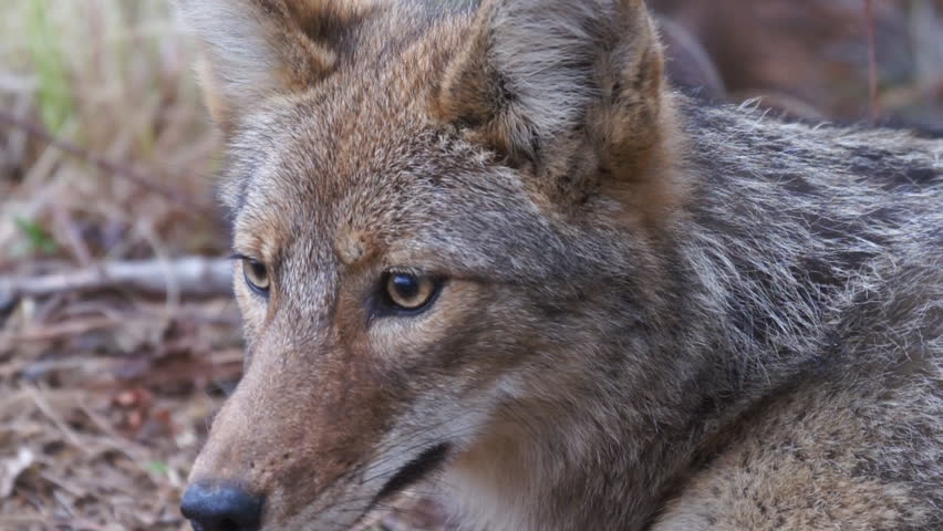 Coyote (Canis latrans) is a wild canine of North America.  A Young Female