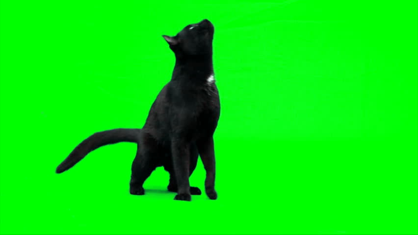 Black male cat walks. | Shutterstock HD Video #1405096