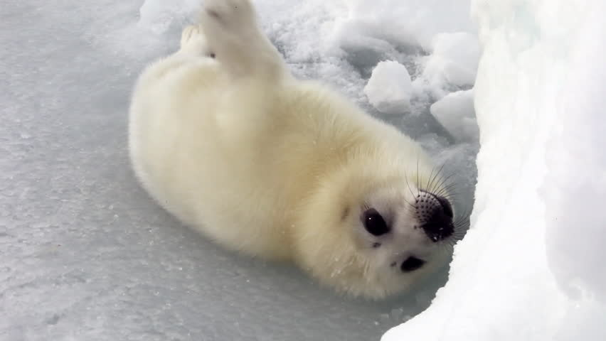 Cute Newborn Seal Pup On Ice Looking at the camera. A Family Polar Arctic Harp Sea Grey Calf Seal With Newborn Baby Cute Pups On Ice Fields Of White Sea. Eco Tourism.