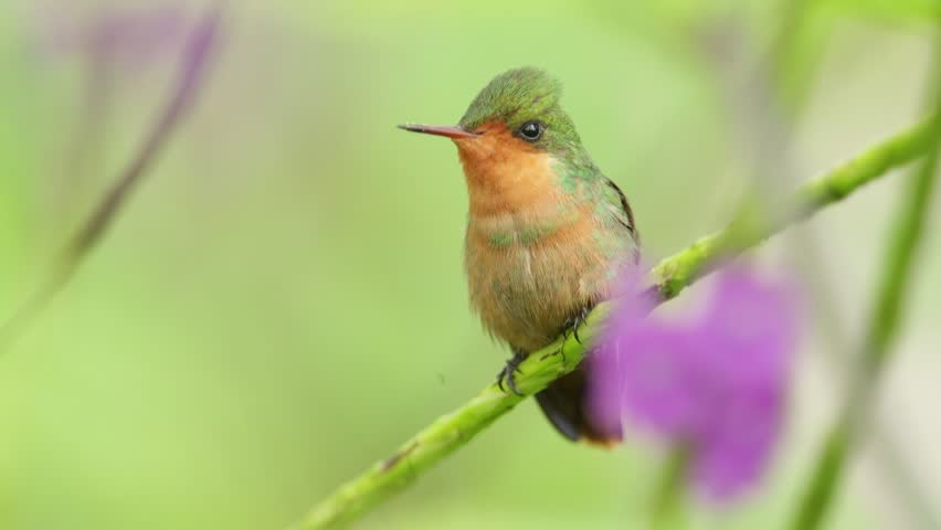 Tufted Coquette, Colorful hummingbird female from Trinidad sitting on the green branch | Shutterstock HD Video #14089196