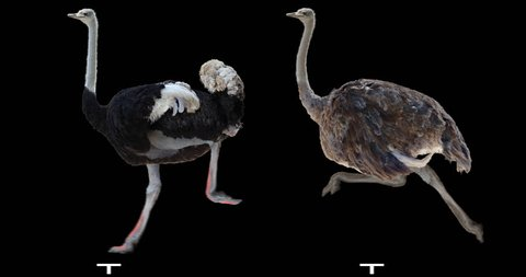 Ostrich running. Male and female. Isolated cyclical animation. Alpha channel.
