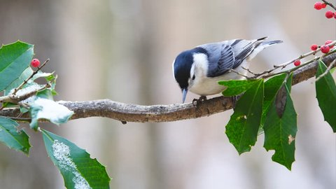 White-breasted Nuthatch (Sitta carolinensis), during rain, snow and inclement cold weather, January in Georgia.