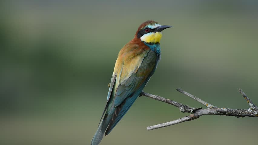 European bee-eater Merops apiaster sitting on the branch | Shutterstock HD Video #14151485