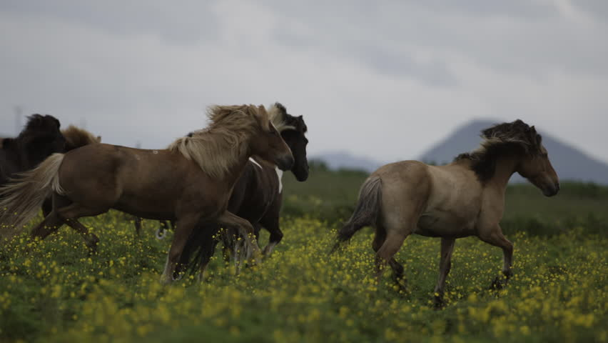 MS SLO MO SELECTIVE FOCUS PAN Group of horses running in meadow / Skogar, Iceland - 07/10/2014 | Shutterstock HD Video #14245898