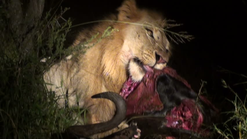 Lion eating buffalo at night
