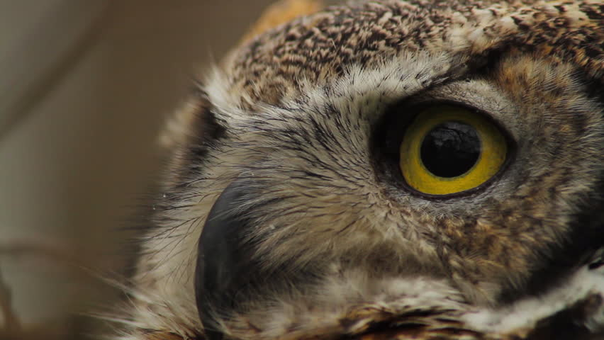 CU TU TD PAN Close-up view of Great horned owl (Bubo virginianus) - HD stock video clip