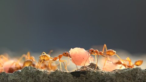 Two ants carrying food from thailand nature
