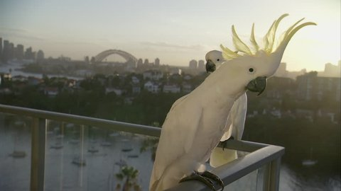 WS MS Sulphur-crested cockatoos (Cacatua galerita) on balcony with city in background / Sydney, Australia