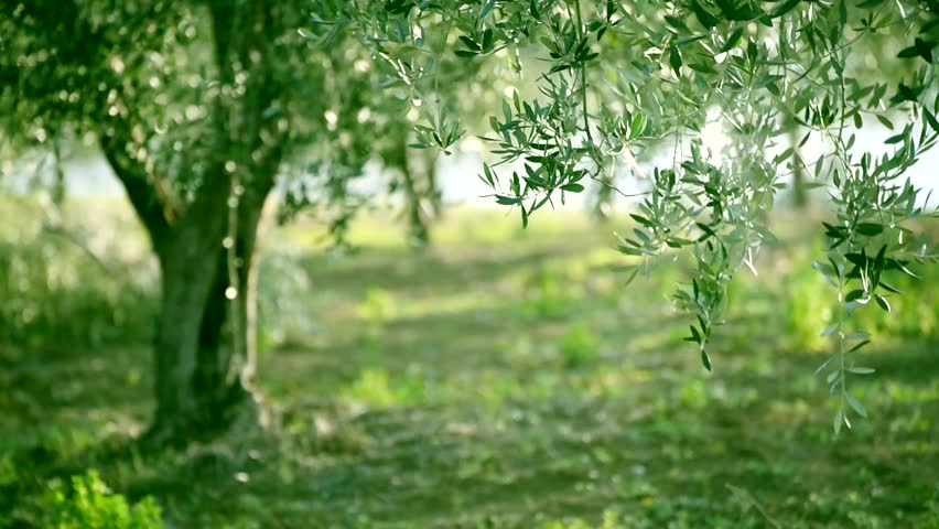 olive green tree growing in stock footage video 100 royalty free 14501146 shutterstock