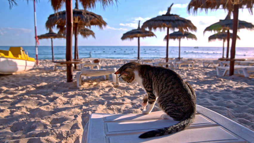 Cat on lounger playing with kitten under. Two cats playing at sand beach around empty lounger. Straw umbrellas and sea with blue sky in background.
