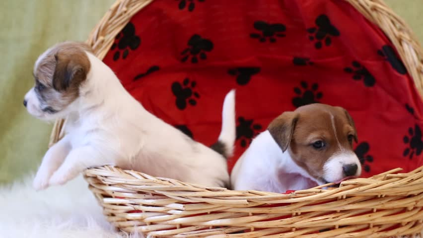 Two puppy jack russell terrier #14541193