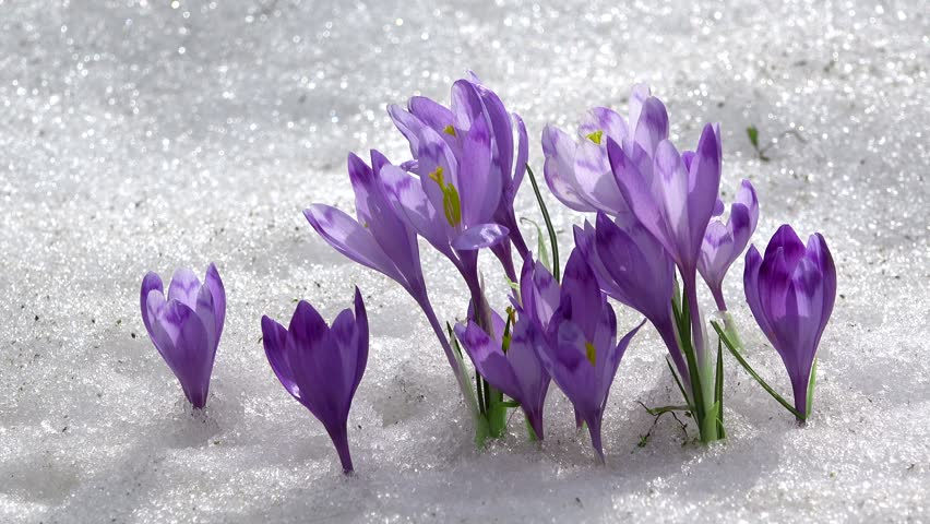 Crocus Flowering From The Snow Early Spring