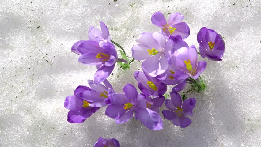 Stock video of hand gather pick crocus saffron flower 3913868 related video keywords mightylinksfo