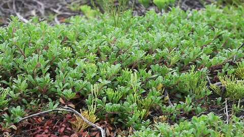 Forest ground vegetation few years after forest fire. Bearberry Arctostaphylos uva-ursi and clubmoss Diphasiastrum complanatum. Boreal forest.