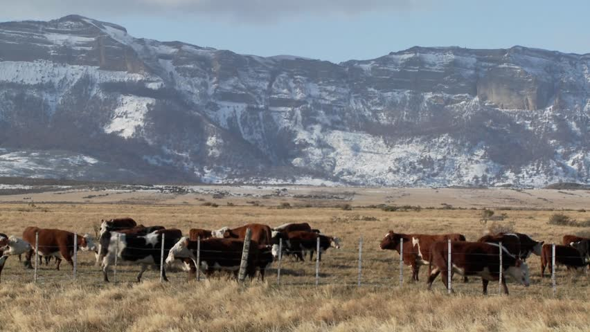 Cattle graze in the fields on a ranch with snowy mountains background. - HD stock video clip