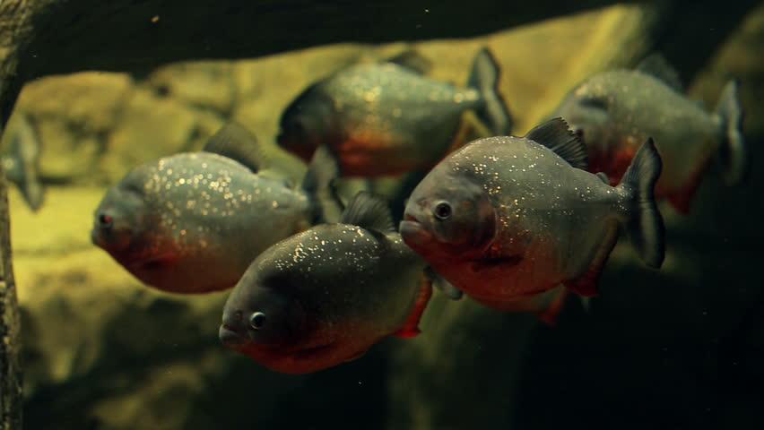 Amazon predatory piranha fish stock footage video 14804161 for Piranha fish tank