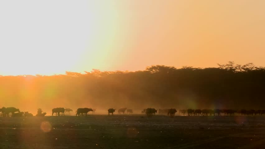Cape buffalo migrate across the dusty plains of Africa.