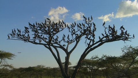 Birds burst from a tree and fly in all directions on the African plain.