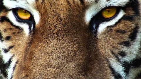 Tiger head with yellow eyes, artificial colored, progressive, apple prores 422HQ