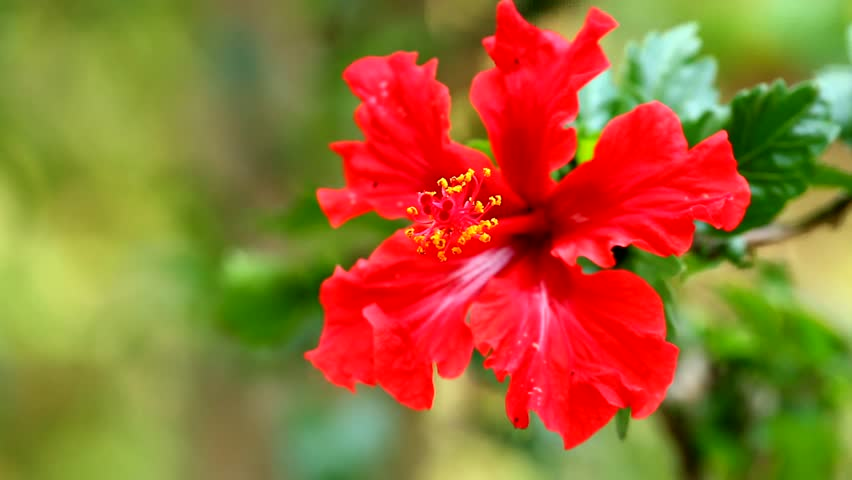 Red Flower Moving By Win Stock Footage Video 100 Royalty Free