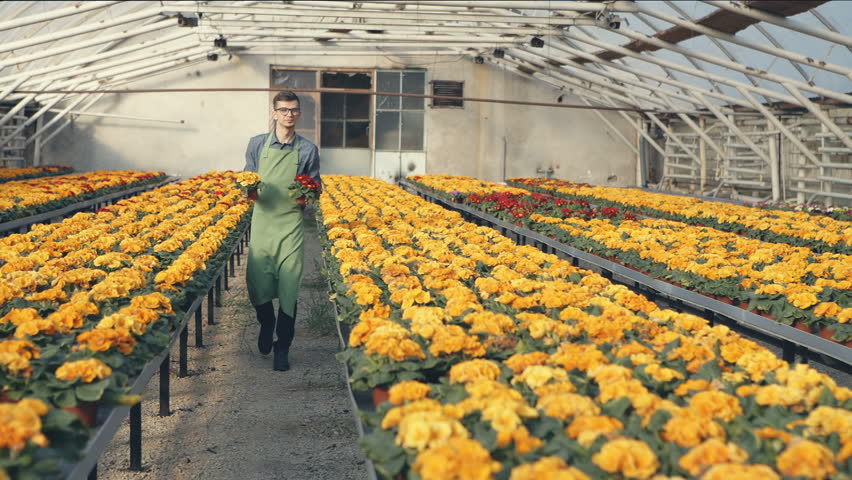 Best service for you. Overjoyed vivacious professional florist smiling and holding flower pots while working in the greenhouse. RAW video record.