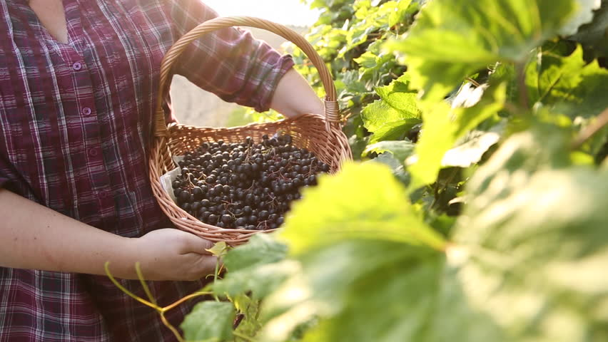 Woman's hands holding basket full of chokeberries. Tracking shot.