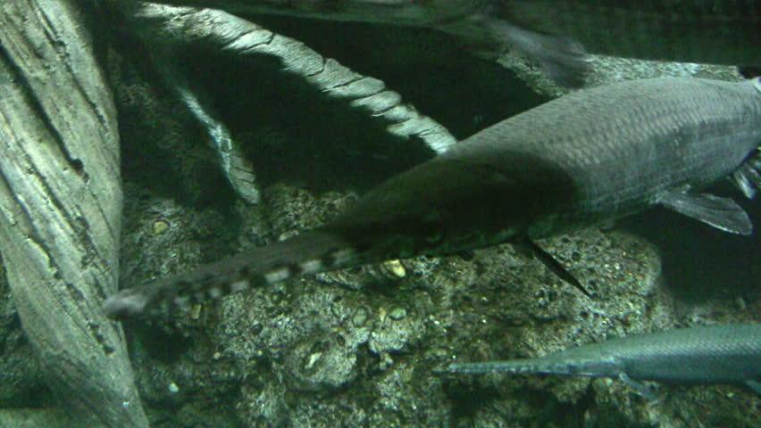 Longnose gar (Lepisosteus osseus)