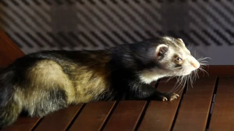 Funny ferret eats