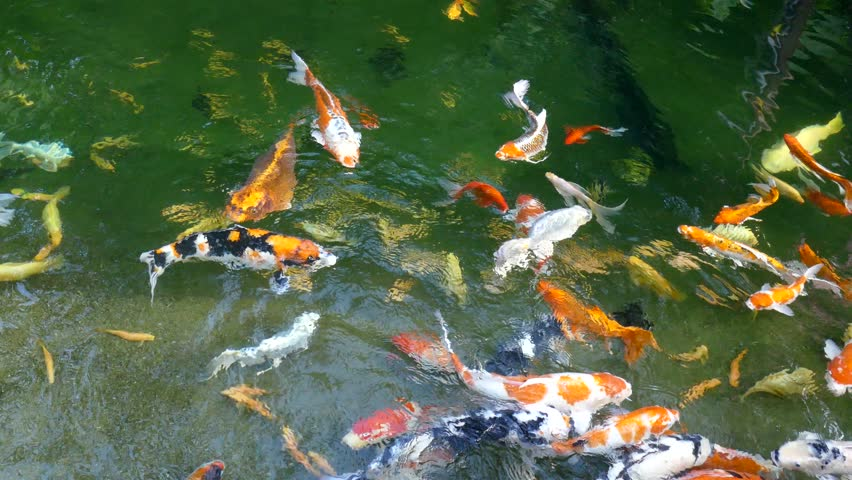 Various Color Japanese Koi Carp Swimming In Fresh Flowing ... Japanese Koi Fish Swimming