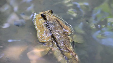 Mudskipper in a Mangrove Swamp in Thailand