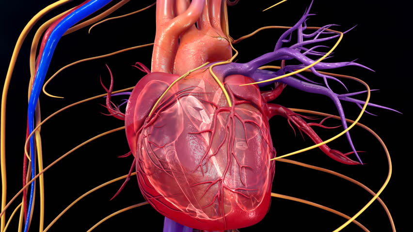 heart and intestine need blood Find out how your heart pumps oxygen-rich blood throughout your body unlike skeletal muscle cells that need to be stimulated small intestine spleen.