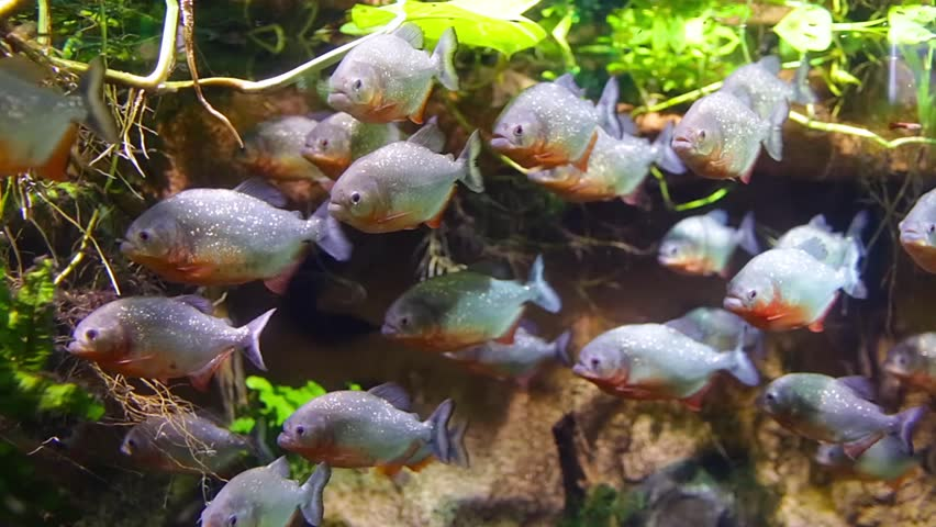 Piranha colossoma macropomum in an aquarium on a green piranha colossoma macropomum in an aquarium on a green background hd stock footage voltagebd Gallery