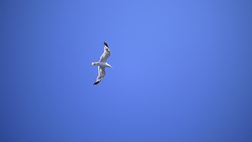 Bird soaring smoothly through the air. When gliding, birds make use of rising air currents to hold them up to move smoothly and continuously along, as if without effort or resistance