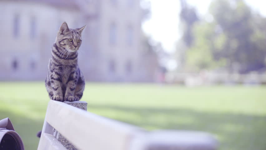Cute cat walking on bench in park close up 4K . Tabby British cat sit on top of bench and walk towards the camera lens and look back on other end of bench. Beautiful green nature.