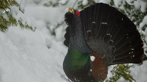 Eurasian bird species - the large forest grouse Western Capercaillie (Tetrao urogallus). Portrait of the playing male. Footage with sound.