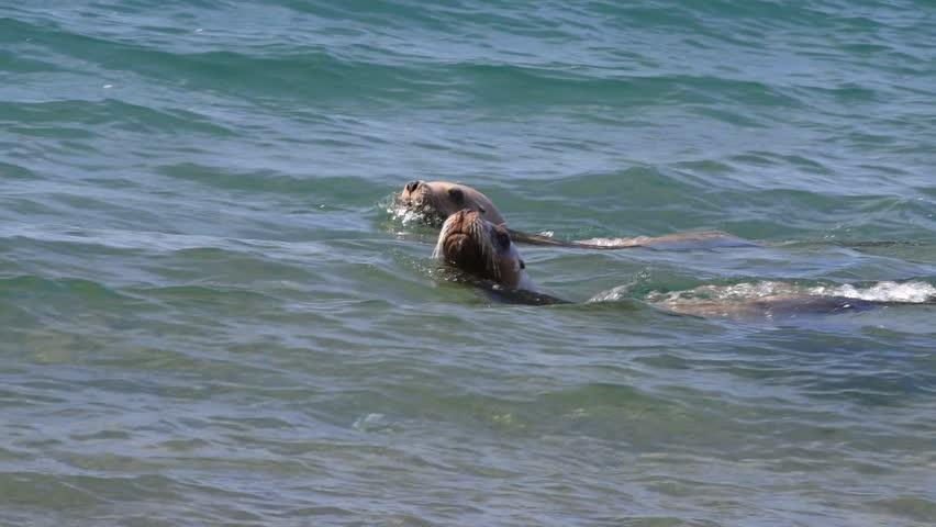 Patagonia sea lion seal on the sandy beach #15259096