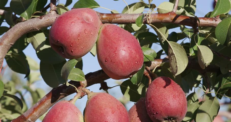 4K Bunch of pears growing on a fruit tree on a large scale fruit farm | Shutterstock HD Video #15266626