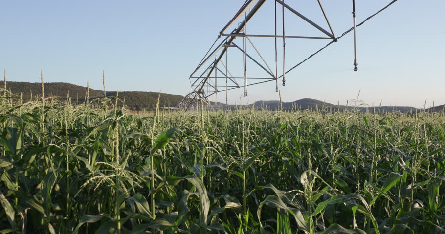 4K Panoramic shot of irrigated cornfield of a large scale commercial corn farm | Shutterstock HD Video #15266656